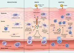 Immuno: innate immunity vs  adaptive immunity Flashcards