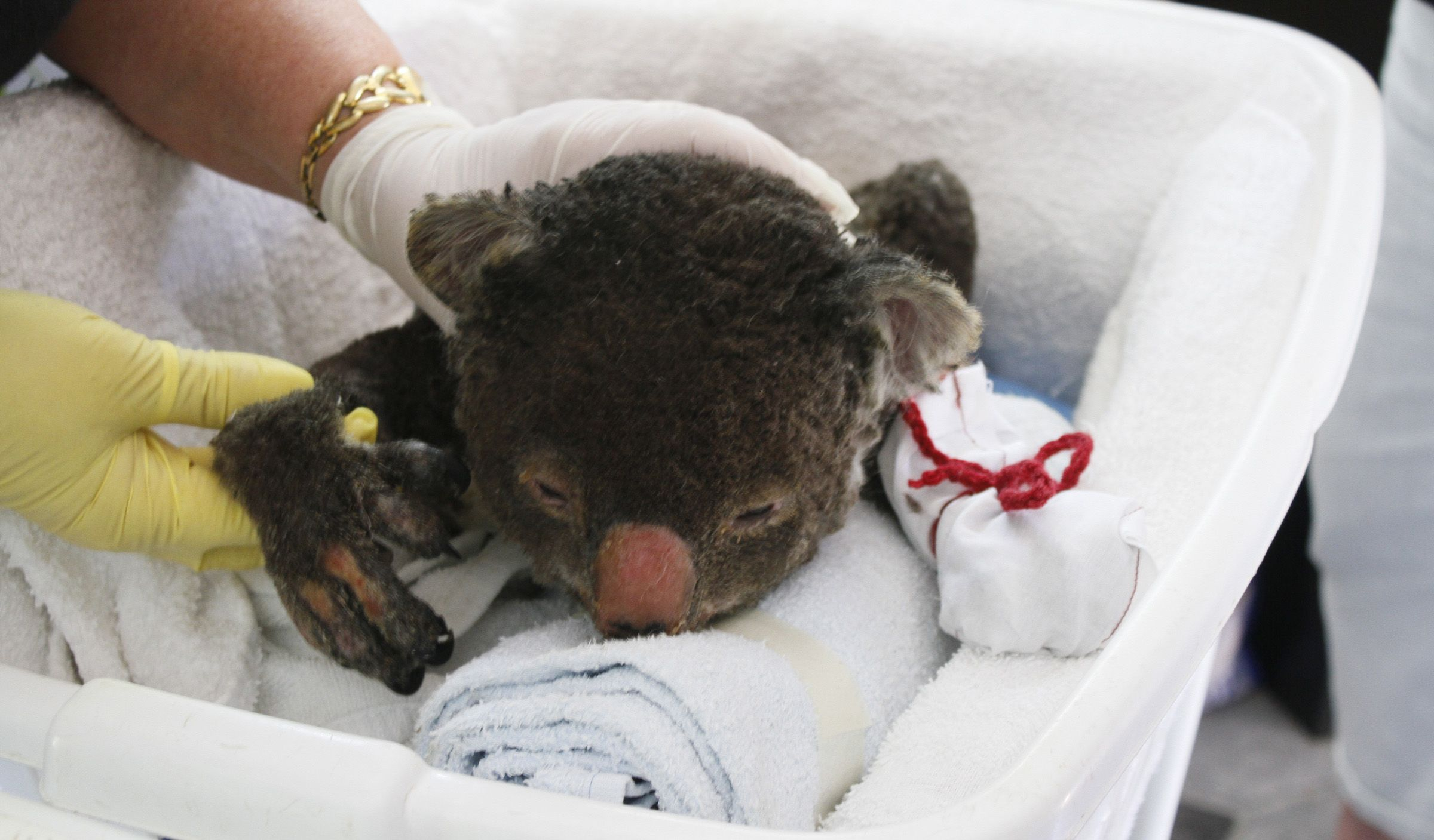 Campaign To Knit Mittens For Injured Koalas Successful Adorable