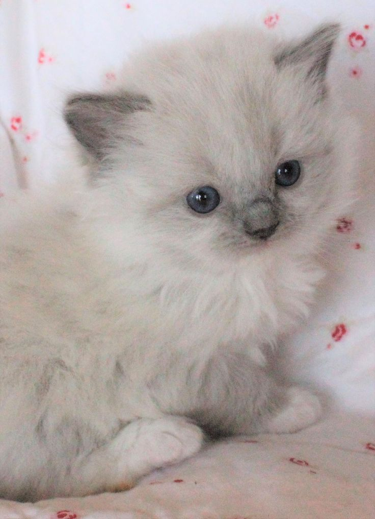 Ragdoll Kittens Personality Cats And Kittens