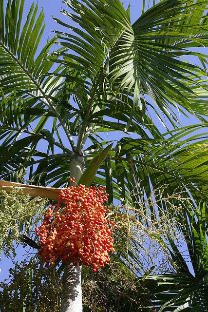 Carpentaria Palm (Carpentaria acuminata) by Tony Rodd