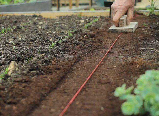 Comment semer le basilic en pleine terre : les ...