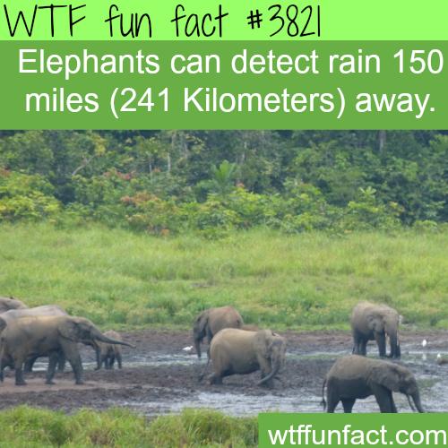 Elephant's radar: Elephants can detect rain hundreds of miles away