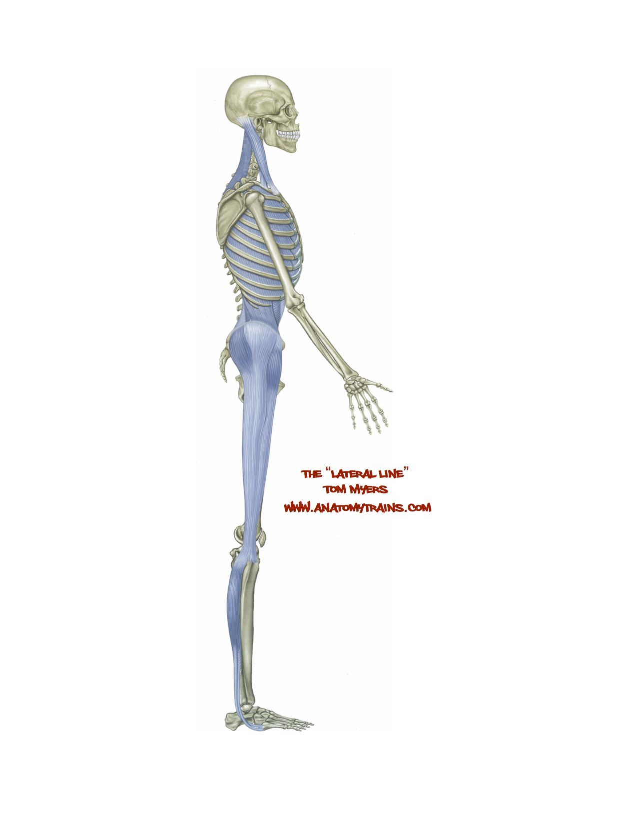 Lateral Line Anatomy Trains Quadratus lumborum stretch flexibilityrx ...