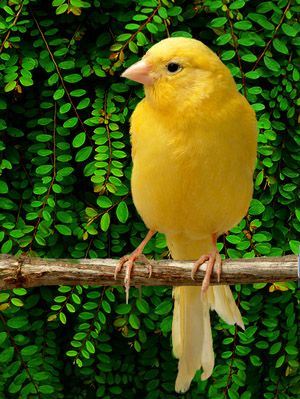 Tiki Bird Is A Yellow Canary Like This One Sings His Head Off