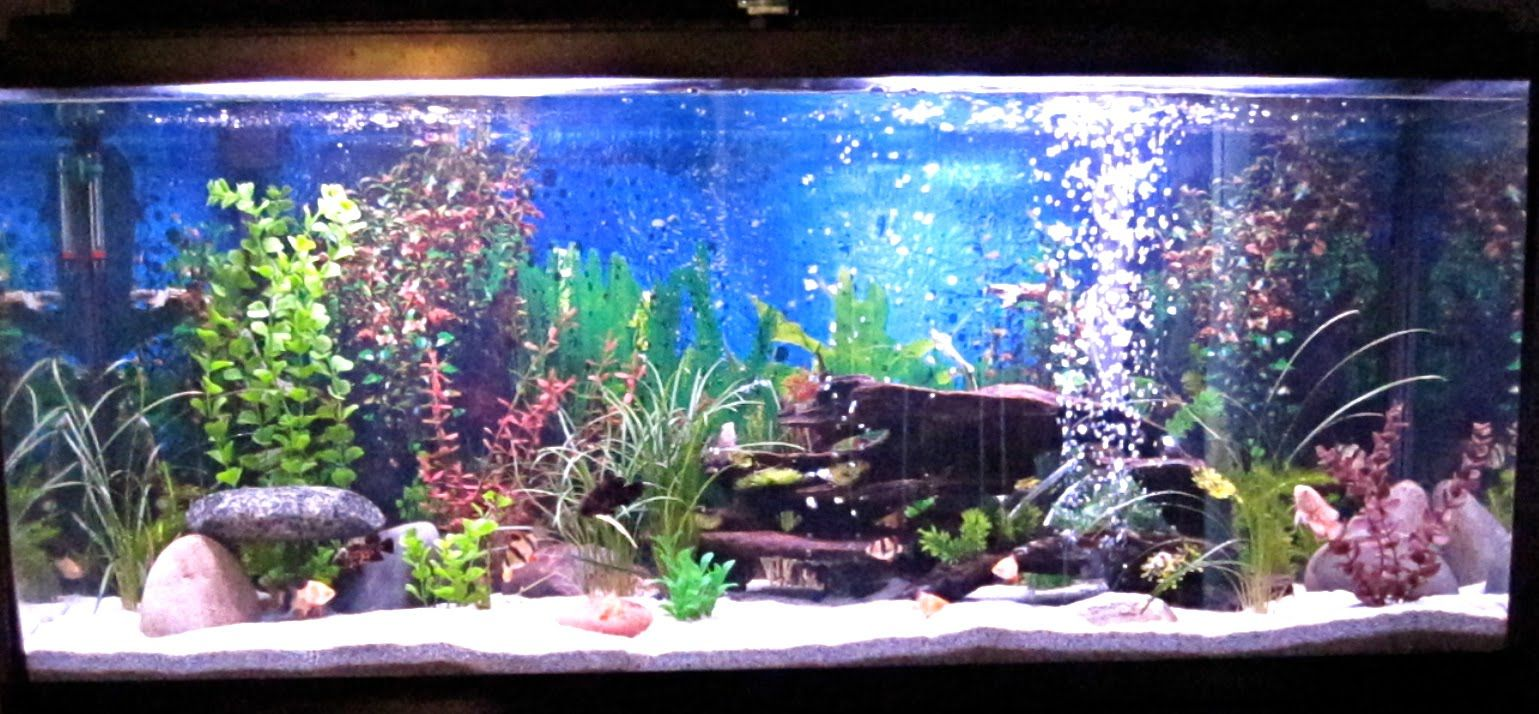 Best fish for 55 gallon freshwater aquarium google for 55 gallon aquarium decoration ideas