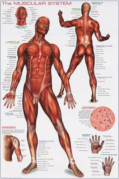 muscular system anatomy poster 24x36 | muscular system and human, Muscles