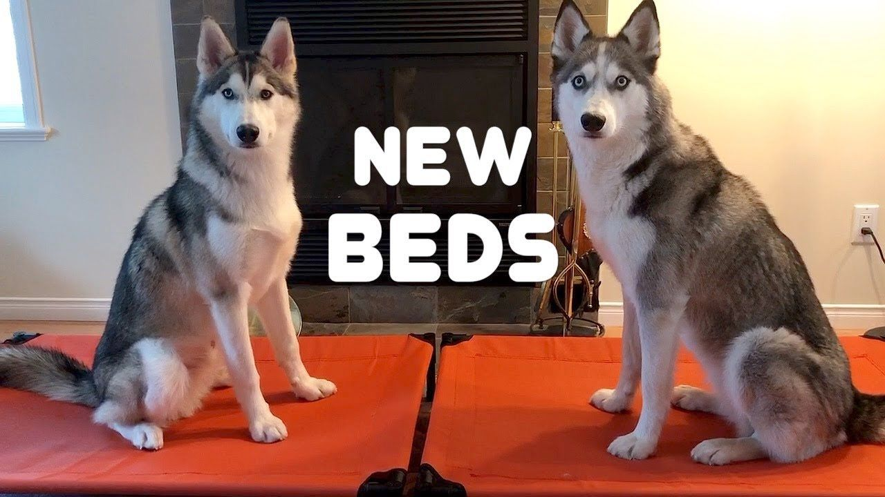 Huskies testing new Dog Beds Dogs, Husky, Dog bed
