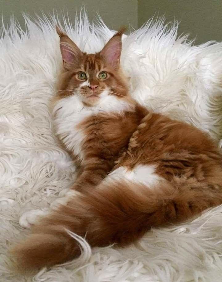 Siamese Kittens For Sale In Iowa