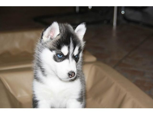 Siberian Husky Puppies Ready For Adoption Husky Puppy Siberian