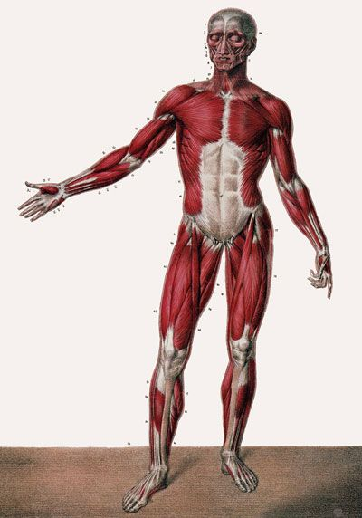 details about ml24 vintage 1800's medical human full body muscles, Muscles
