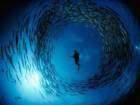Ffffound Diver And Barracuda Photo Animals Wallpaper