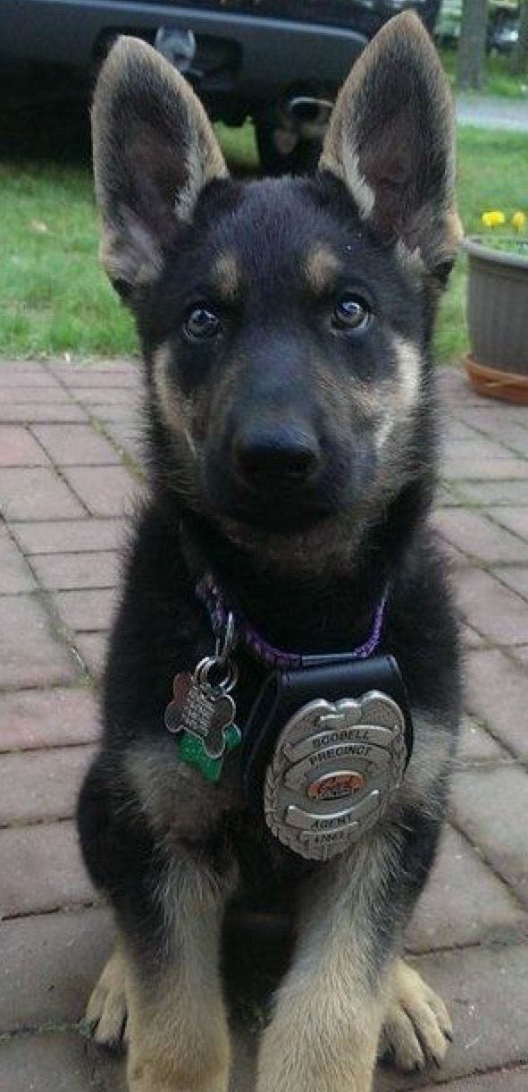 Pin By Allison On German Shepherd Puppies Dogs And Puppies Pets