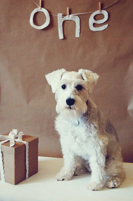 Yuki's Birthday by Melissa Heard #Miniature #Schnauzer