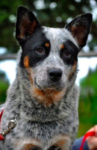 Have You Been Thinking About Adopting A Cattle Dog This Is Your Sign Click Here To Find Out More About Good Dog S Certifie Cattle Dog Dogs Dogs And Puppies