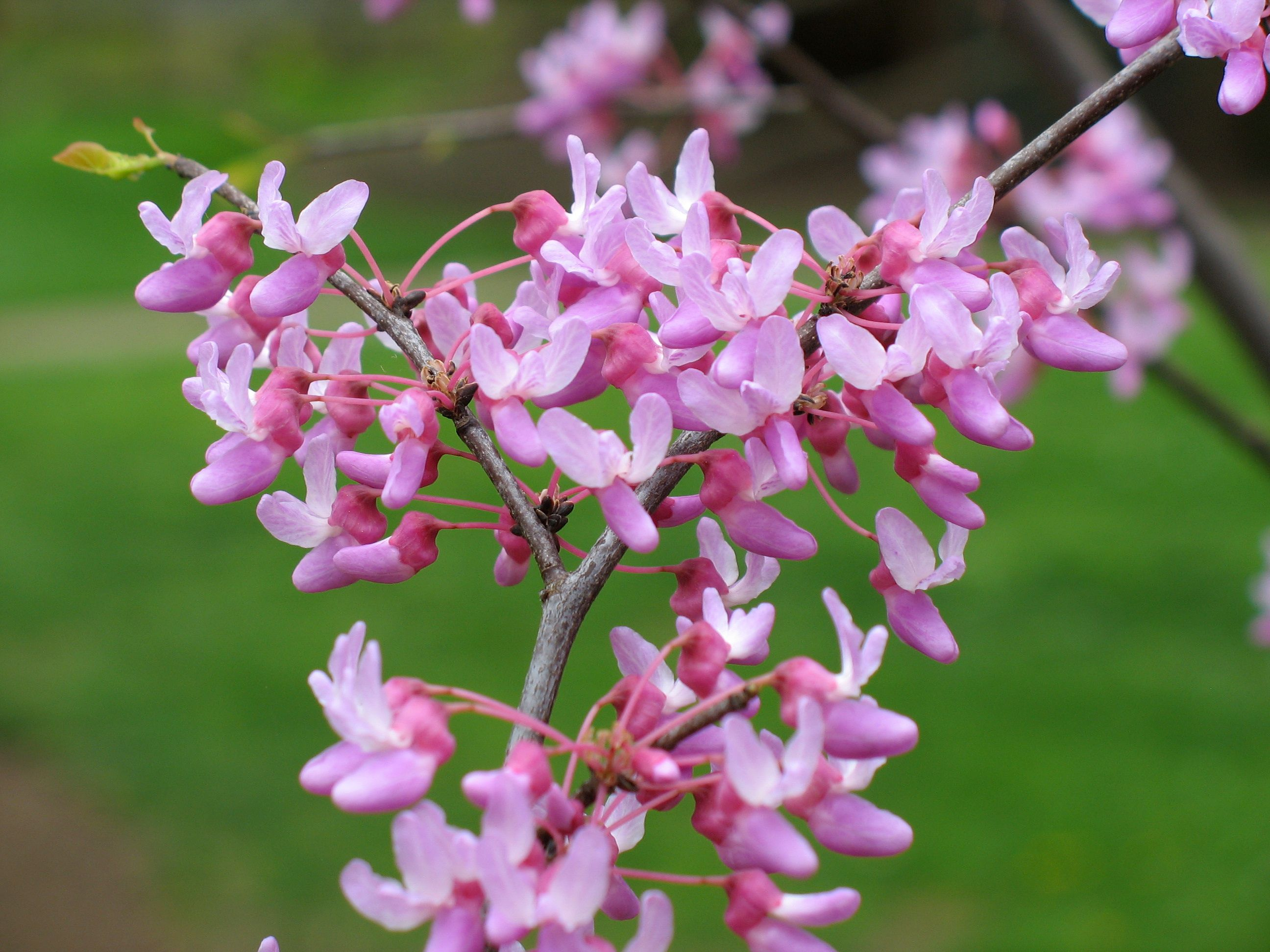 Eastern Redbud Flower Google Search