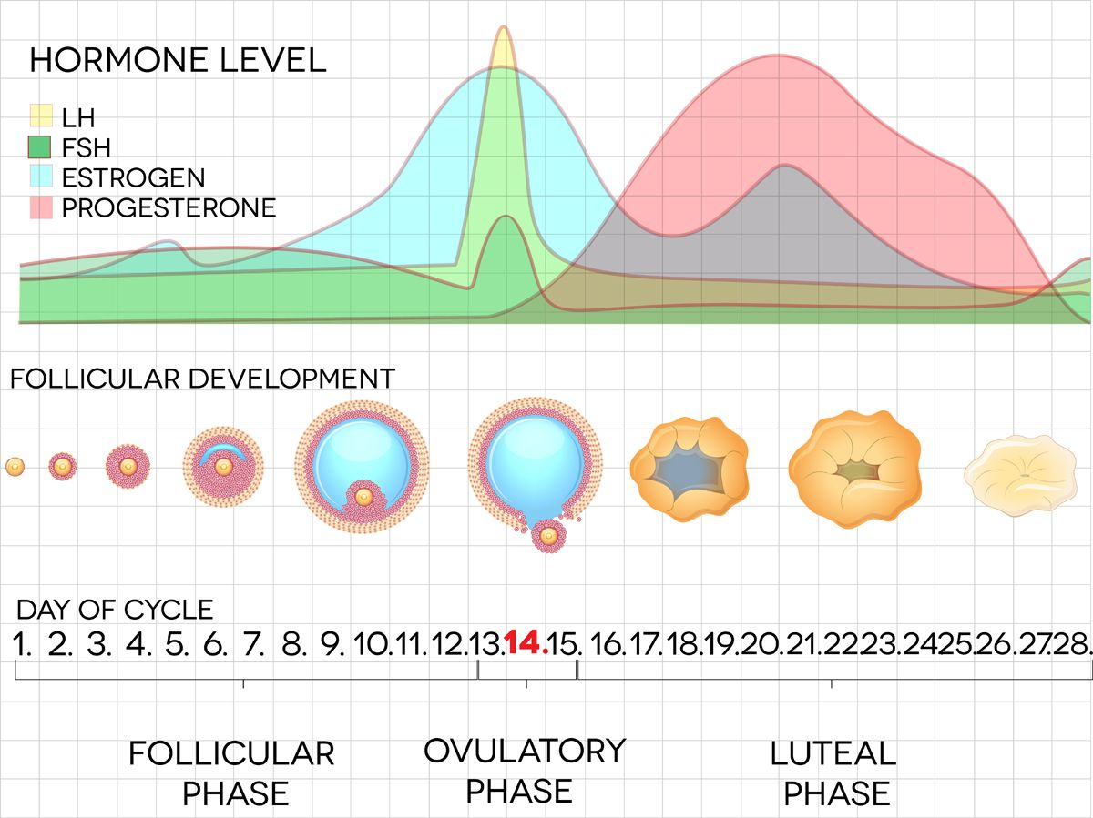 female menstrual cycle chart [ 1200 x 899 Pixel ]