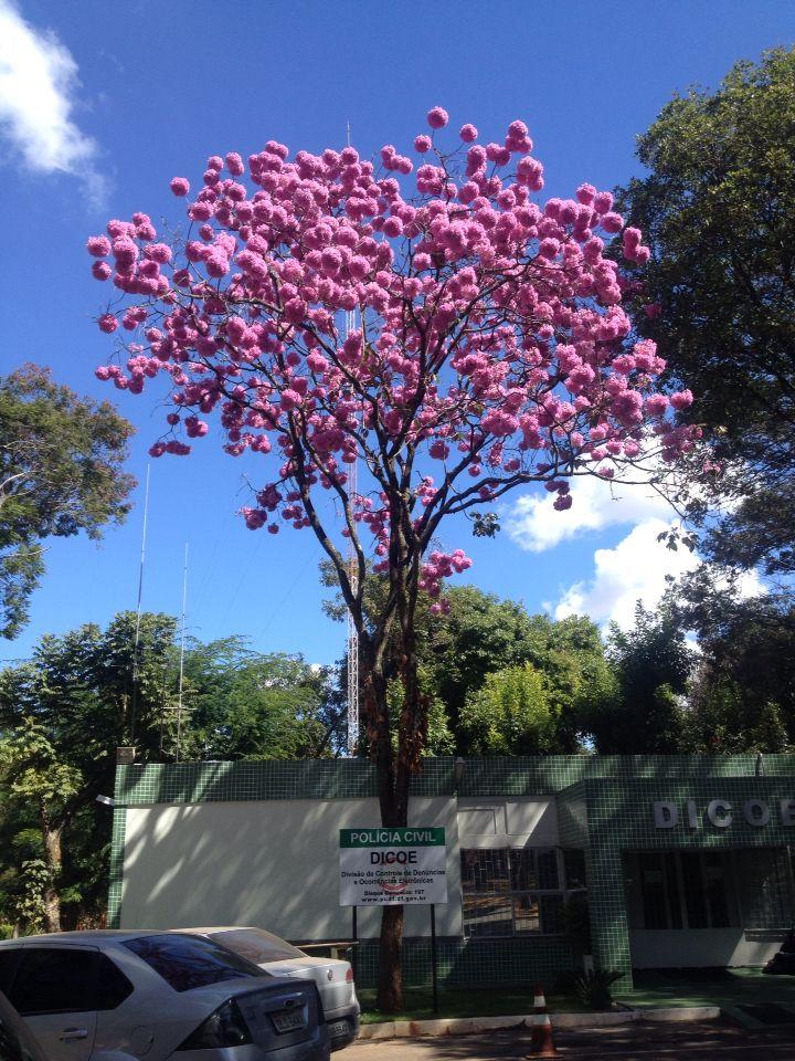 Ipê rosa da cidade maravilhosa de Brasília