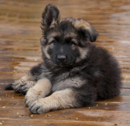 Jaxx Shepherd Puppies Puppies Shiloh Shepherd