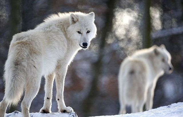 A Men Is Not Afraid Of Wolves (15 pics)