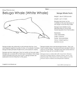 Beluga Whale Fact Sheet And Coloring Page Kids Will Read About