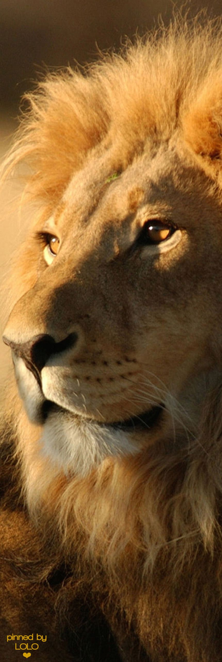 Subtle but this is the way I picture the lion looking face to face ...