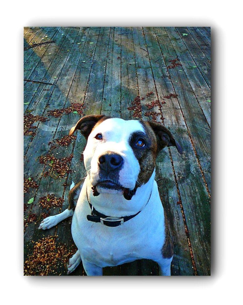 Pitbulls Art Pitbulls And Parolees Season 4 Episode 16 Click Visit Link Above For More Info Pitbullsfac Pitbull Training Pitbulls Grey Pitbull Puppies