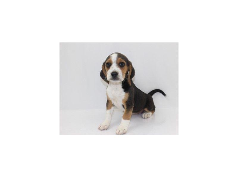 Checkout This Cute Beagle 918 At Petland Jacksonville Fl
