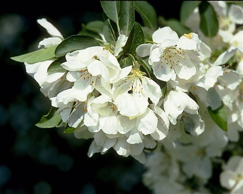 Jewel White Flowering Crabapple White flowering trees