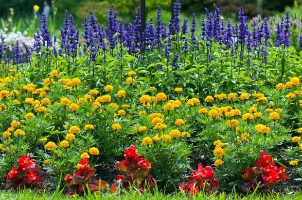 Aksamitki Turki Tagetes Gatunki Aksamitek Do Ogrodu I Na Balkon Marigolds In Garden Blooming Flower Garden Planting Marigolds