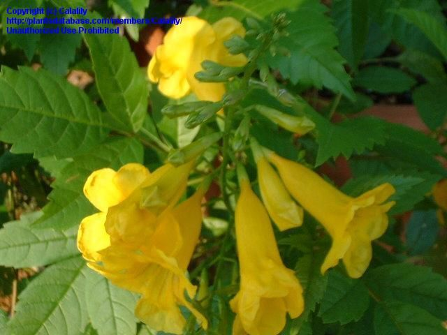 Plantfiles Pictures Yellow Bells Trumpet Flower Tecoma Stans