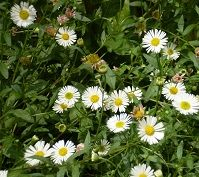 How To Use Chamomile In Companion Planting Perennial 400 x 300
