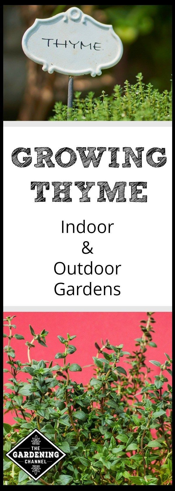 How to Grow Thyme Vegetable and Herbs Indoor vegetable