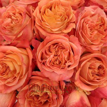 garden rose apricot blend