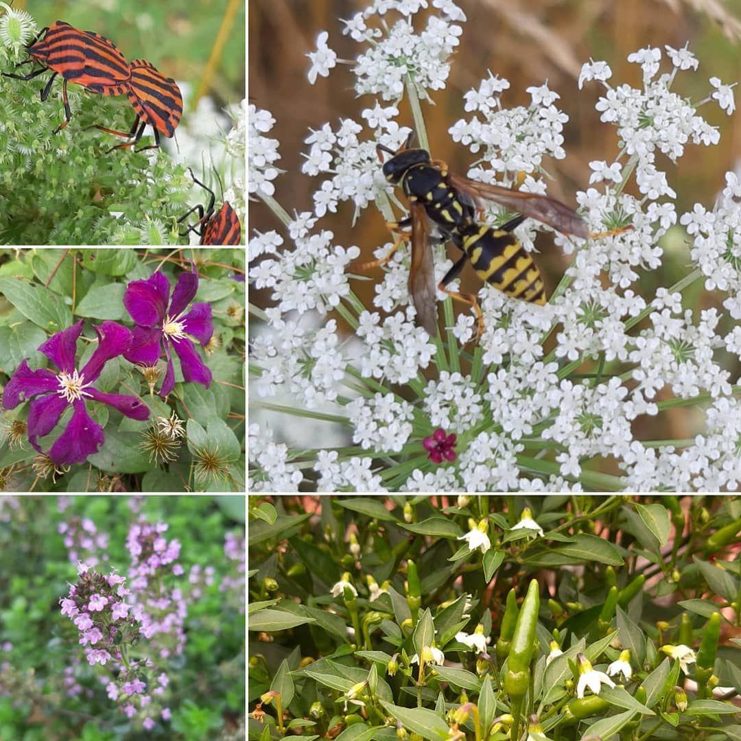 Sommer August Feldwespe Gartengluck Blumen Insektenwelt Insektenfreundlich Nature Natur Wunderschon Pflanzen Blumen Pflanzen Garten