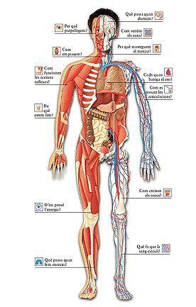 Imagenes De El Cuerpo Humano Y Sus Partes Todo En Imagenes Human Body Body Human