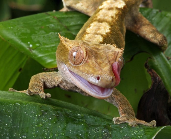 Best Lizards For Pets 4 Great For Beginners Crested Gecko Care