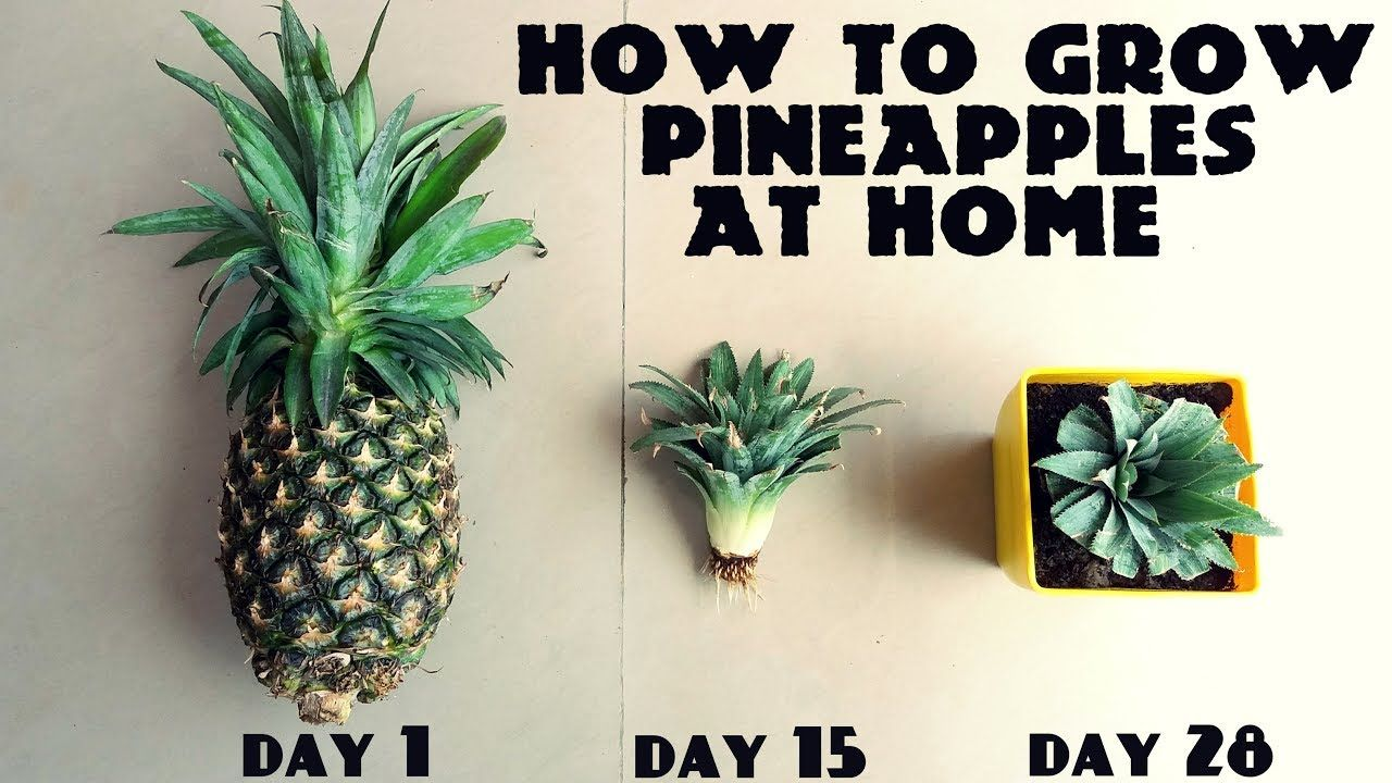 How To Grow Pineapples At Home Fast N Easy Youtube Growing Pineapple Growing Organic Tomatoes Pineapple Planting