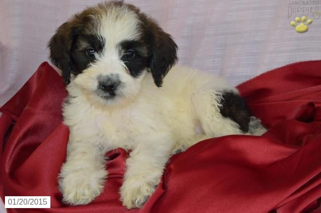 St Bernadoodle Puppy For Sale In Indiana Bernadoodle Puppy Puppies Puppies For Sale