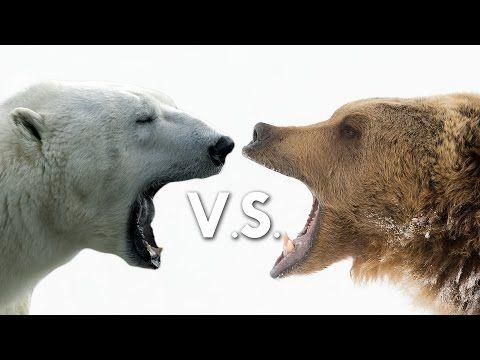 Grizzly Bear vs. Polar Bear (3:17)   Animals   Mammals 2   Pinterest