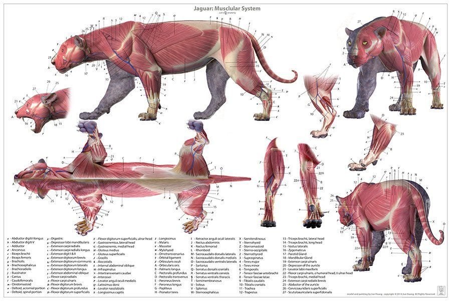jaguar_anatomy_poster_v3_1024x1024.jpg (900×600) | kosti a kostry ...