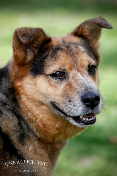 Kenya is a gorgeous 1 year old Australian Cattle Dog ...