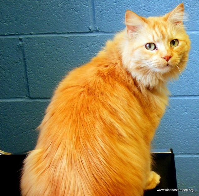 Long Haired Orange Tabby Cat With Images Orange Tabby Cats