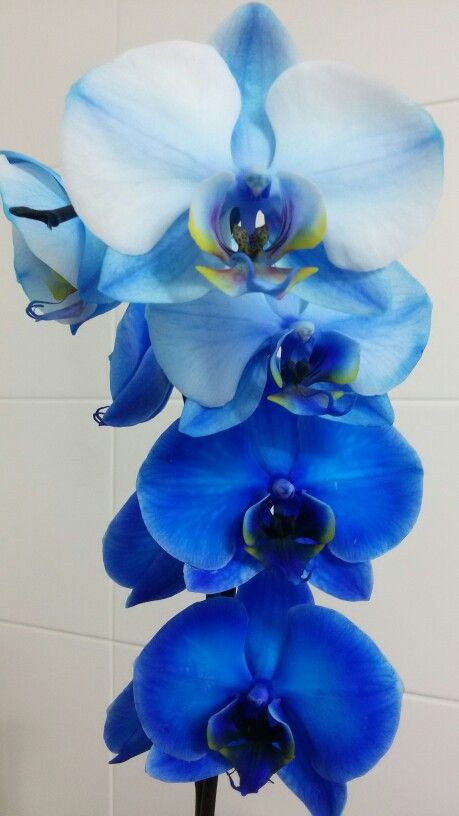 Amazing degradé blue orchid :)