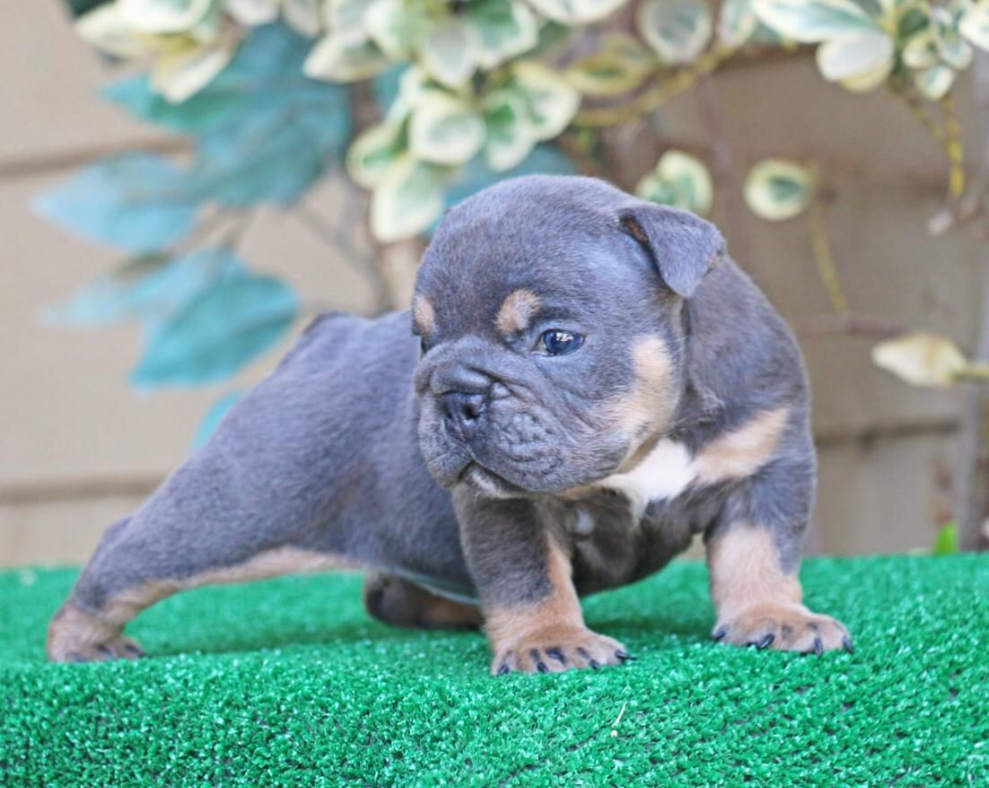 Available American Bully Home Buddy Pet American Bully