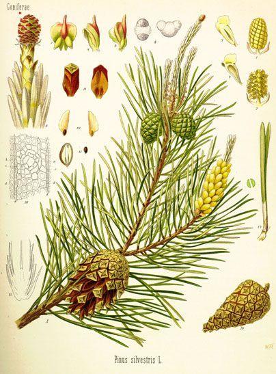 Pinus sylvestris: Hoja corta (menos de 8 cm) / Hojas en grupo de 2 ...