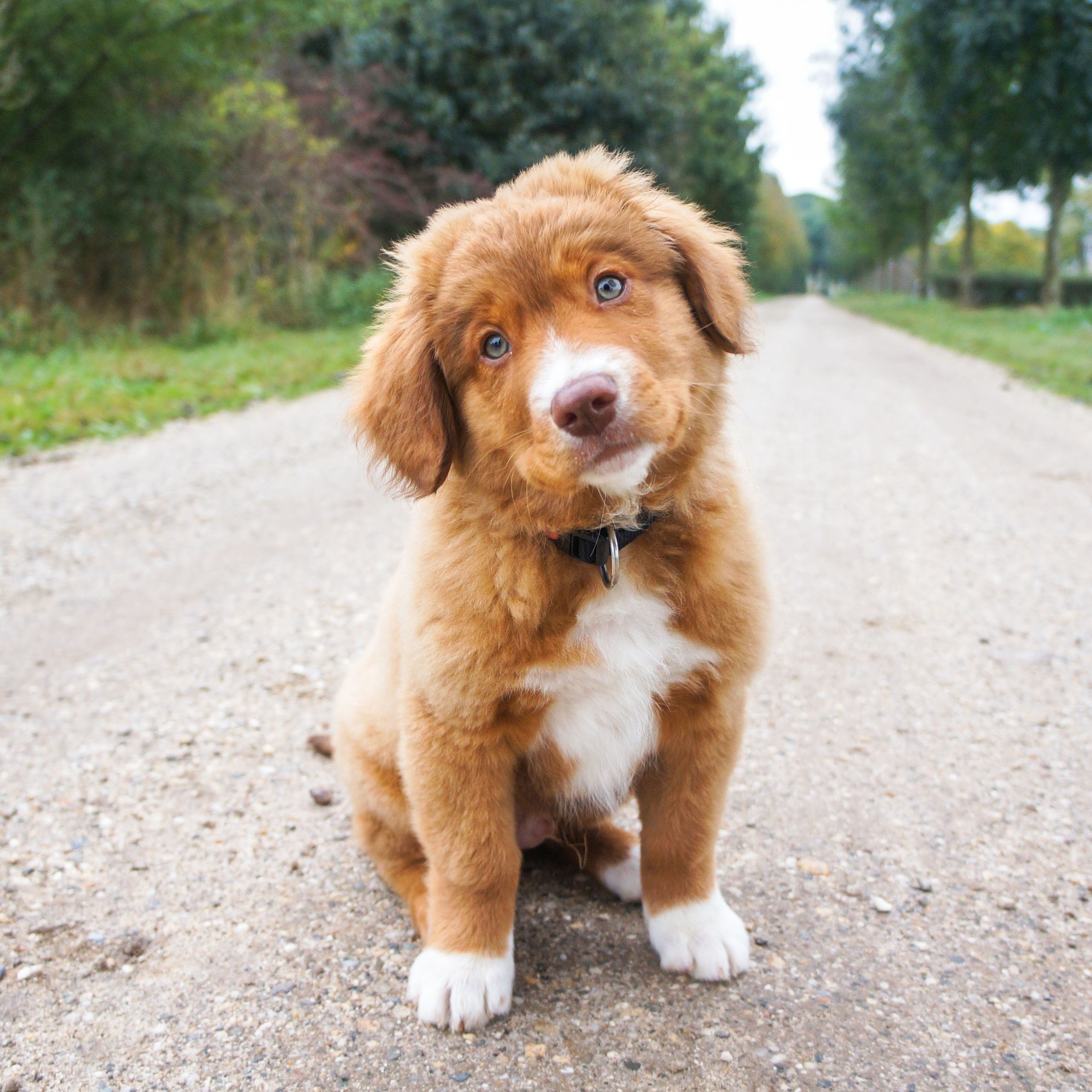 Cute Nova Scotia Duck Tolling Retriever Puppy Retriever Puppy Cute Puppy Photos Nova Scotia Duck Tolling Retriever