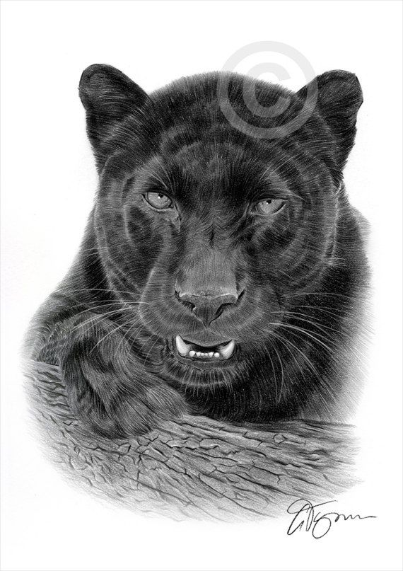 black panther pencil drawing art print a4 size artwork