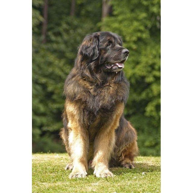 Long Haired English Mastiff See This Instagram Photo By Englishmastiffmoments 478 Likes Leonberger Dog Large Dog Breeds Dog Breeds