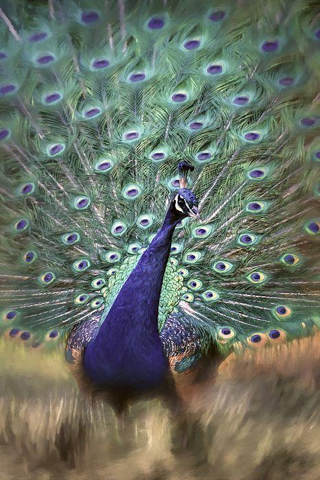 Dreamy #Peacock #Bird #Art By Jai Johnson #peacocks #homedecor http://shop.jaiart.com/featured/dreamy-peacock-bird-art-by-jai-johnson-jai-johnson.html
