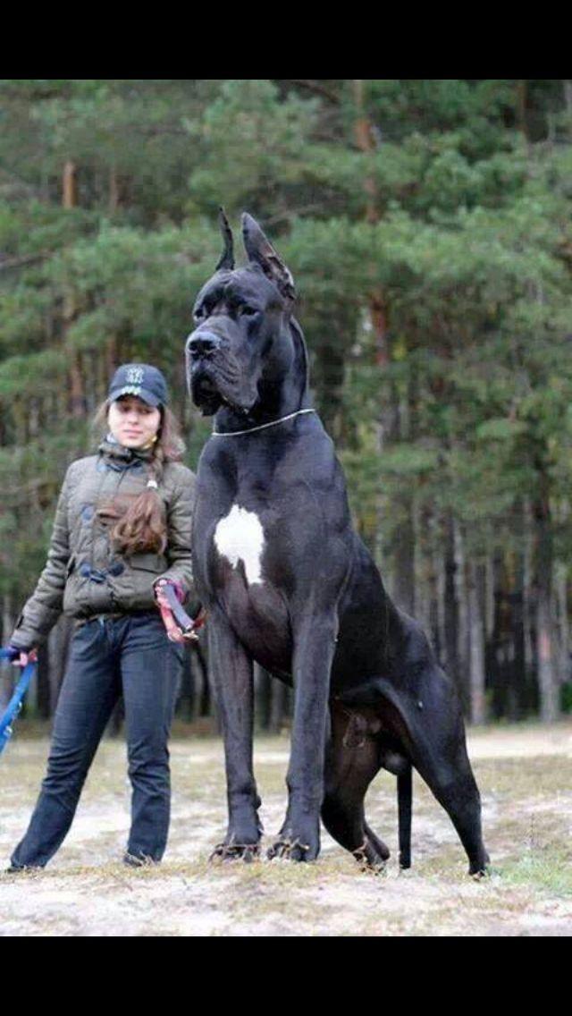 Crazy Huge Great Dane Perros Gigantes Perros Enormes Perros